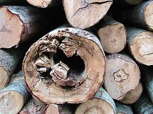 насекомые и грибок общими усилиями могут превратить дерево в труху