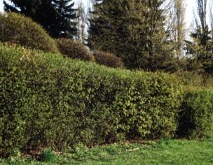 сорняки не должны подступать слишком близко к изгороди