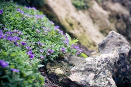 камень - главный элемент в альпийской горке, цветы должны лишь подчеркивать его красоту