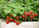 Сорта садовой земляники и способы посадки