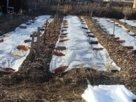 Выращиваем раннюю картошку